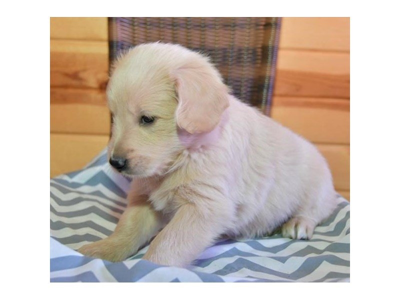 Goldendoodle 2nd Gen-Male-Cream-2636709-Petland Kennesaw