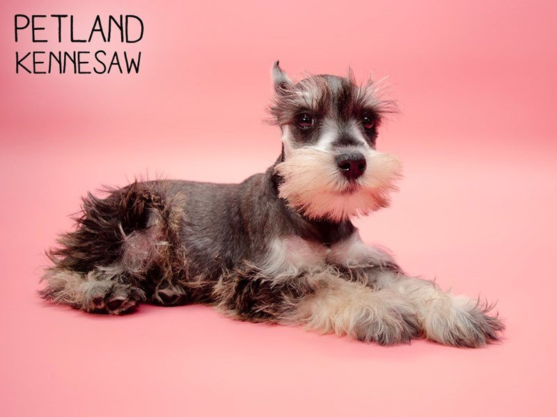 Miniature Schnauzer-Female-SALT PEPPER-2631981-Petland Kennesaw