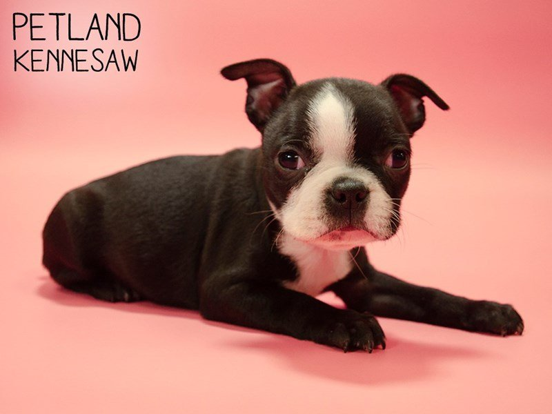 Boston Terrier-Female-Black / White-2644367-Petland Kennesaw