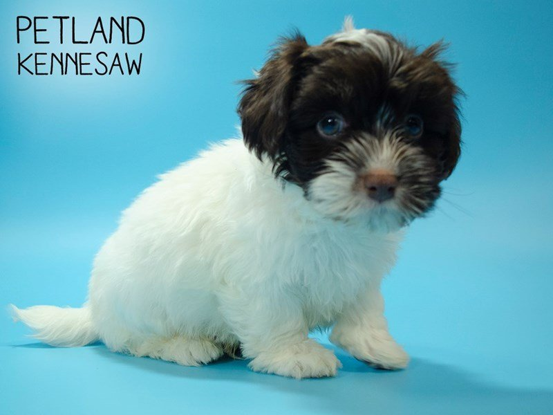 Havanese-Male-Chocolate / White-2644381-Petland Kennesaw