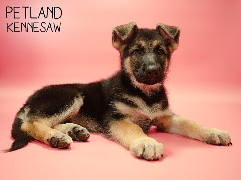 German Shepherd-Female-Black / Tan-2644385-Petland Kennesaw