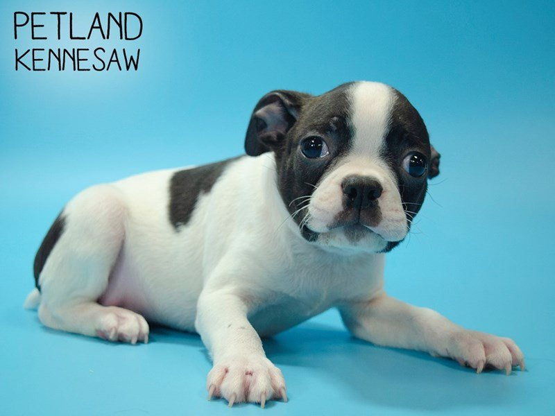 Boston Terrier-Male-BLK WHITE-2639587-Petland Kennesaw