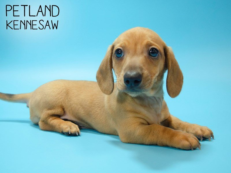 Dachshund-Male-RED-2639518-Petland Kennesaw