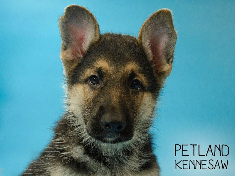 German Shepherd-Male-Black / Tan-2651656-Petland Kennesaw