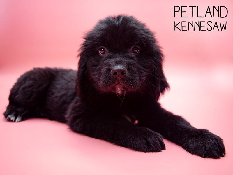 Newfoundland-Female-Black-2647482-Petland Kennesaw