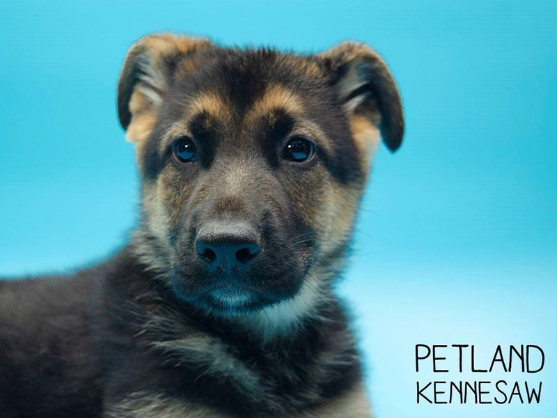 German Shepherd-Male-Black & Tan-2647348-Petland Kennesaw
