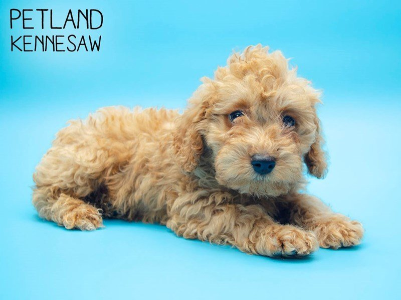 Miniature Poodle-Male-RED-2647560-Petland Kennesaw