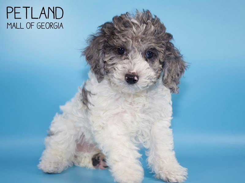Miniature Poodle-Male-Blue Merle-2651613-Petland Kennesaw