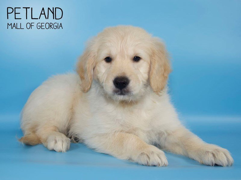 Goldendoodle 2nd Gen-Male-Cream-2636713-Petland Kennesaw