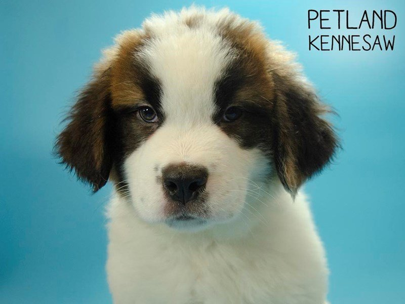 Saint Bernard-Male-Sable & White-2654657-Petland Kennesaw