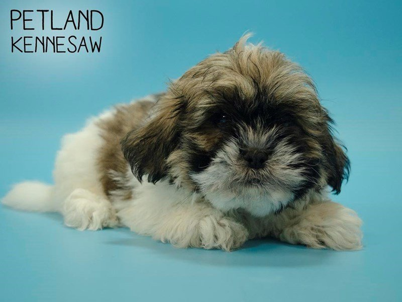 Lhasa Apso-Male-BROWN WHITE-2654488-Petland Kennesaw