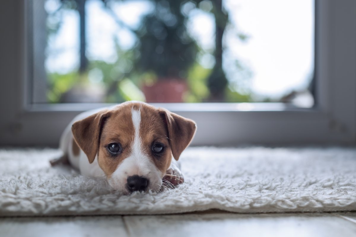 carpet, Keeping Carpet Clean with Pets