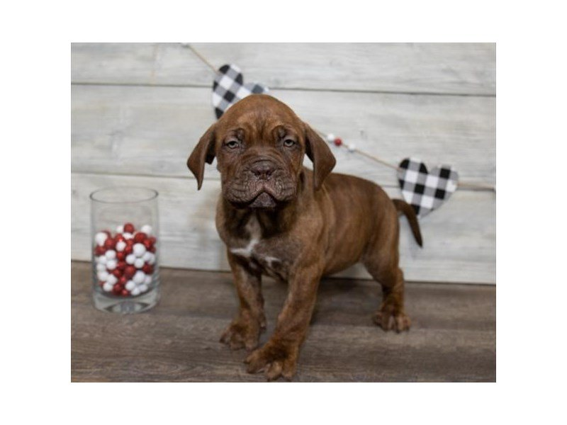 Dogue De Bordeaux-Female-Brindle-2607934-Petland Kennesaw