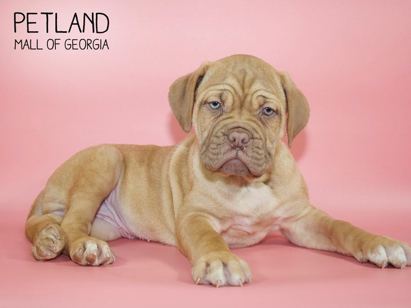 Dogue De Bordeaux-Female-Fawn-2607701-Petland Kennesaw