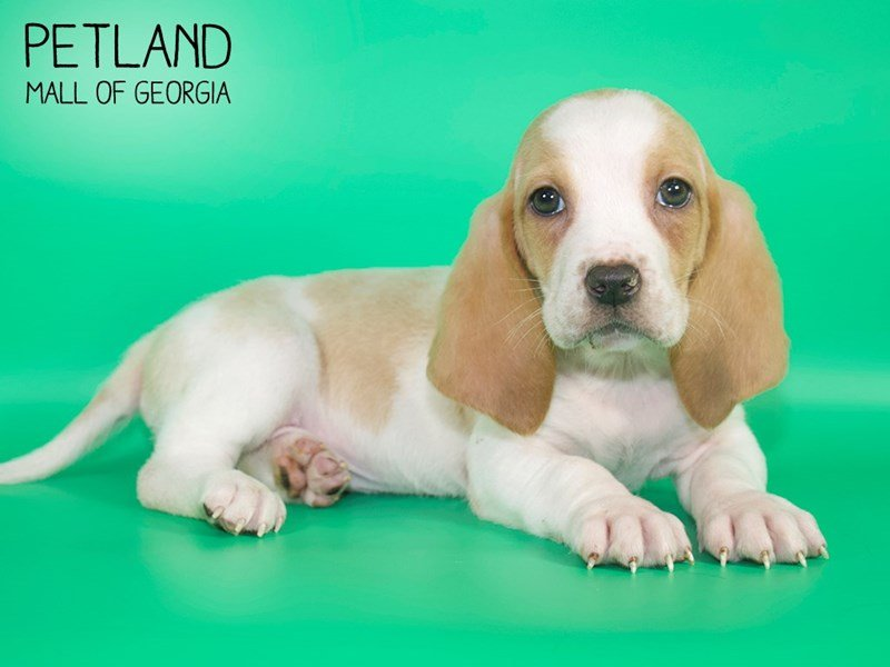 Basset Hound-Male-Red / White-2629222-Petland Kennesaw