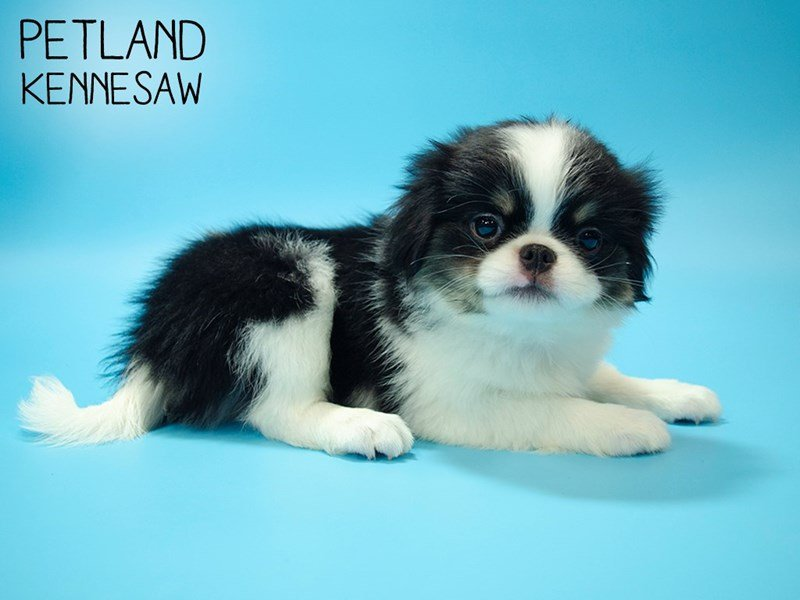 Japanese Chin-Male-Black / White-2644384-Petland Kennesaw