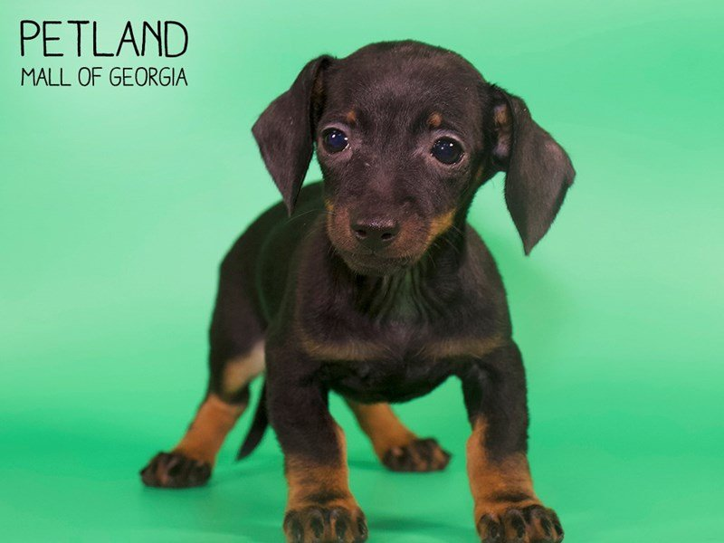 Dachshund-Female-black tan-2639507-Petland Kennesaw