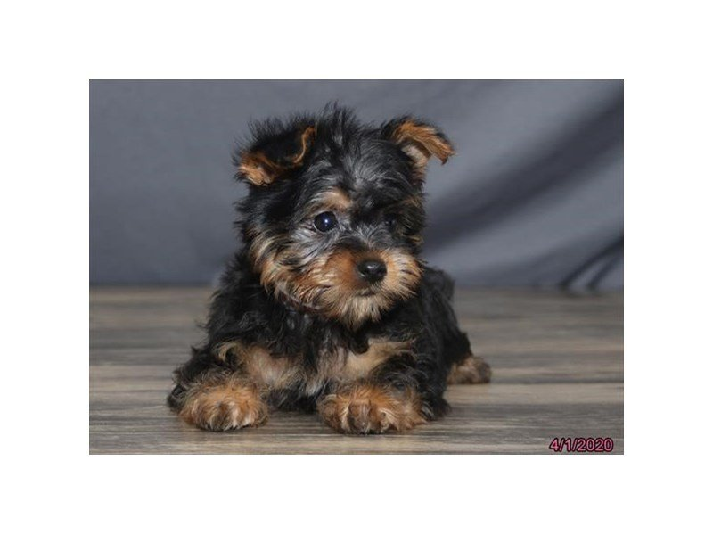 Silky Terrier-Female-Black / Tan-2670643-Petland Kennesaw