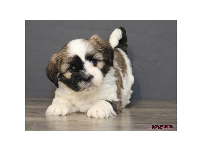 Lhasa Apso-Male-Red / White-2670653-Petland Kennesaw