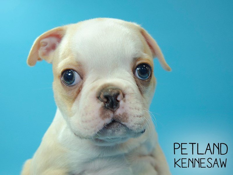 Boston Terrier-Male-BLK WH-2667647-Petland Kennesaw