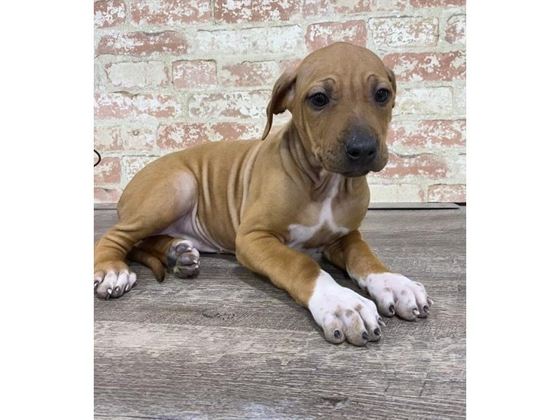 Rhodesian Ridgeback-Female-Red-2683818-Petland Kennesaw