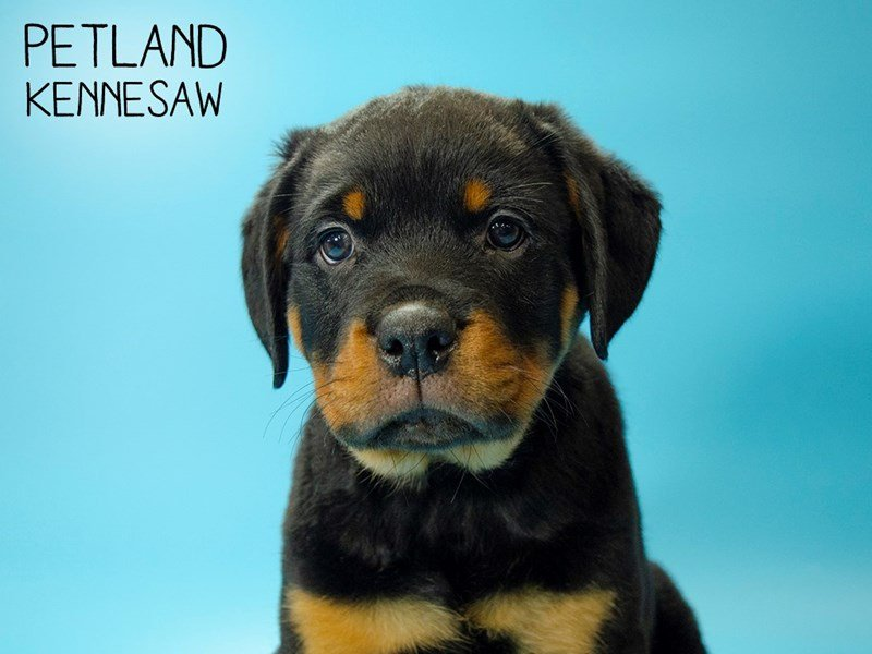 Rottweiler-Male-Black and Tan-2679802-Petland Kennesaw
