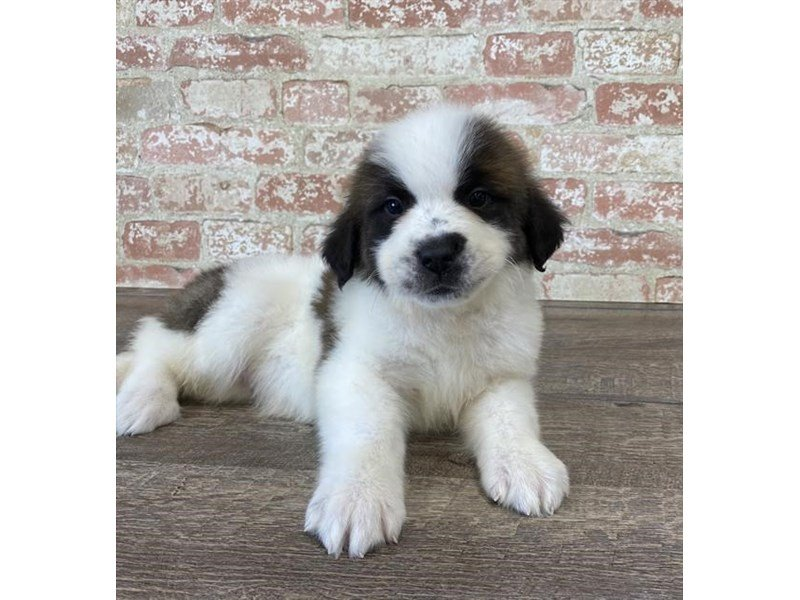 Saint Bernard-Male-Brown / White-2690592-Petland Kennesaw