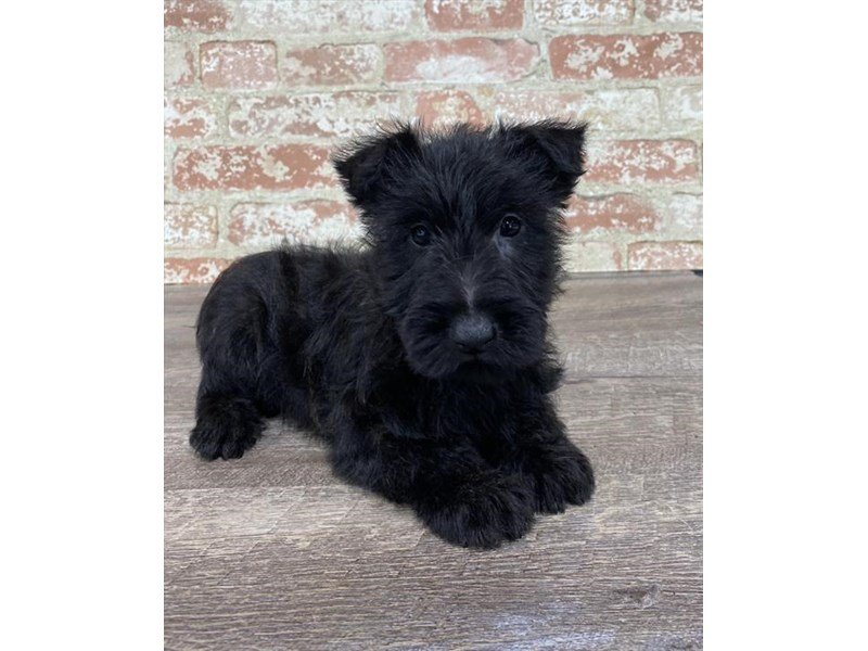 Scottish Terrier-Male-Black-2690598-Petland Kennesaw