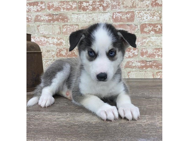 Siberian Husky-Female-Gray / White-2690680-Petland Kennesaw