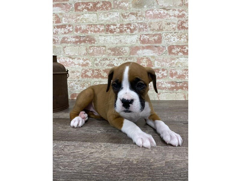 Boxer-Female-Fawn / White-2697307-Petland Kennesaw