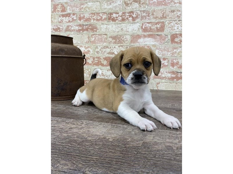 Puggle-Female-Tan-2697333-Petland Kennesaw