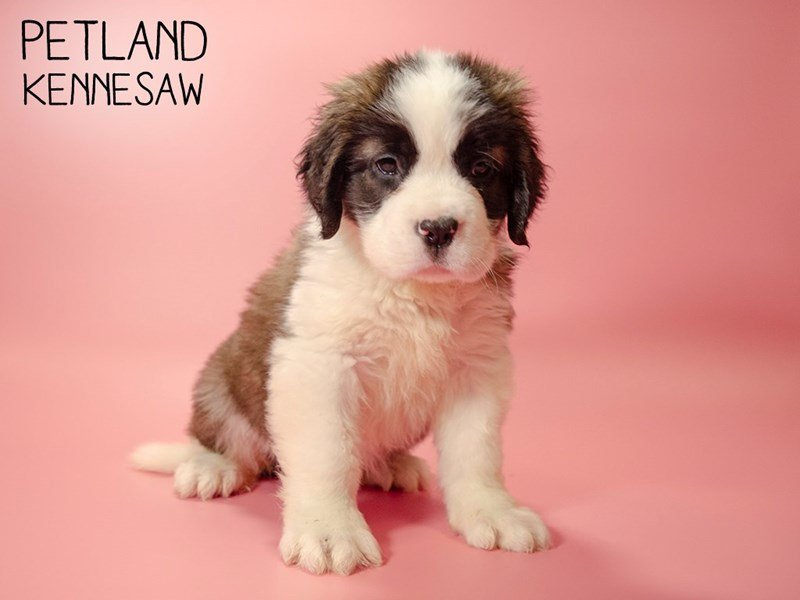 Saint Bernard-Female-Brown White-2693434-Petland Kennesaw