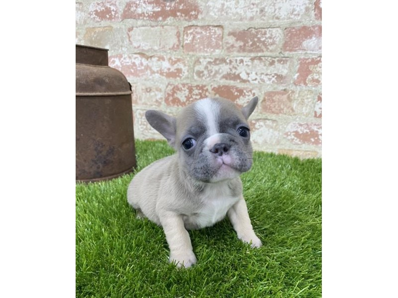 French Bulldog-Female-Gray-2704199-Petland Kennesaw