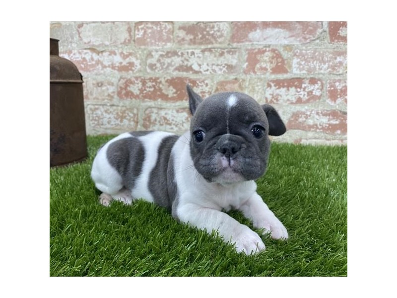 French Bulldog-Female-Gray-2704200-Petland Kennesaw