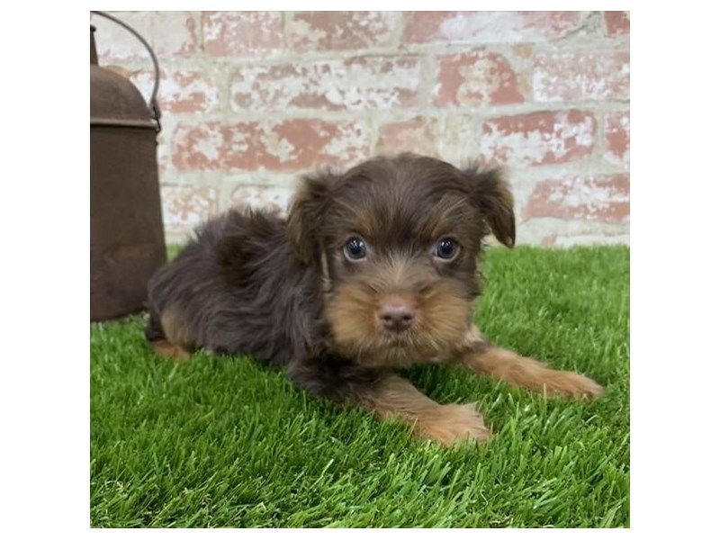 Yorkshire Terrier-Male-Chocolate / Tan-2704213-Petland Kennesaw