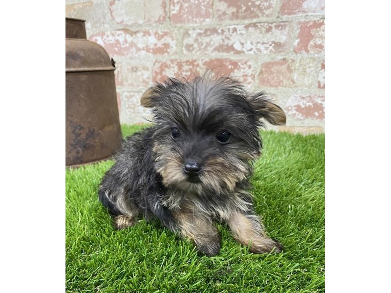 Yorkshire Terrier-Female-Black / Tan-2704215-Petland Kennesaw