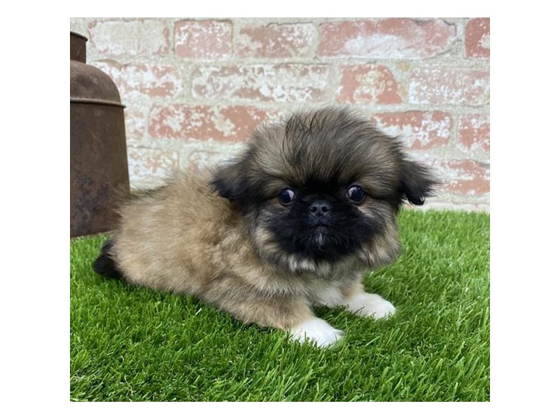 Pekingese-Male-Sable-2704218-Petland Kennesaw