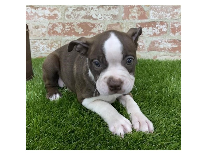 Boston Terrier-Female-Seal / White-2704219-Petland Kennesaw