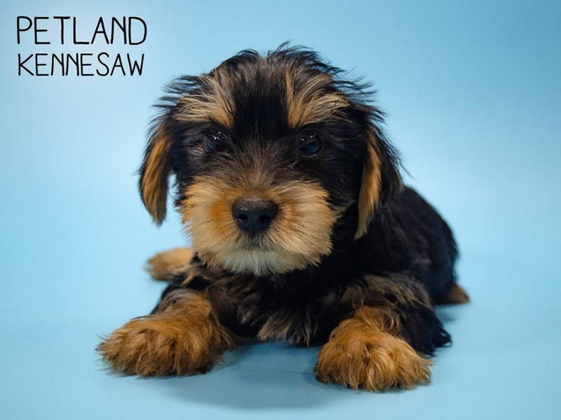 Yorkshire Terrier-Male-BLK TAN-2700090-Petland Kennesaw