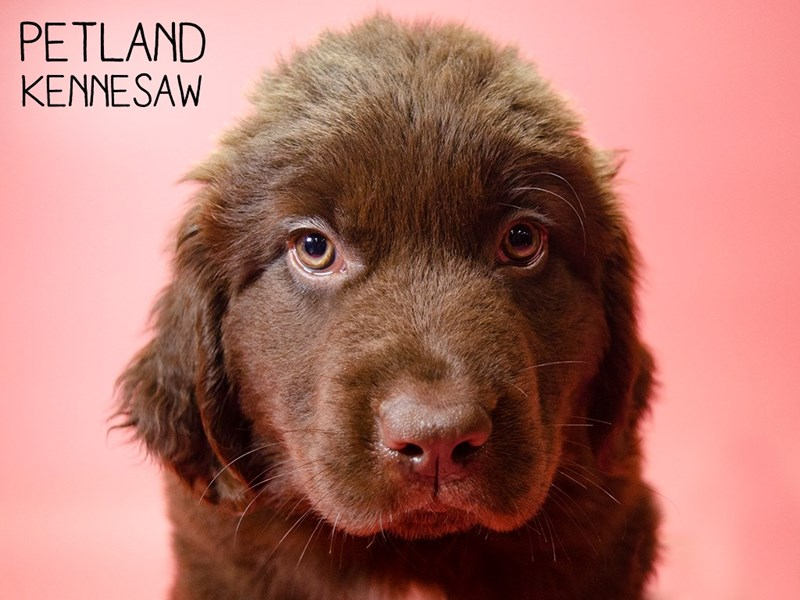 Newfoundland-Female-Chocolate-2700033-Petland Kennesaw