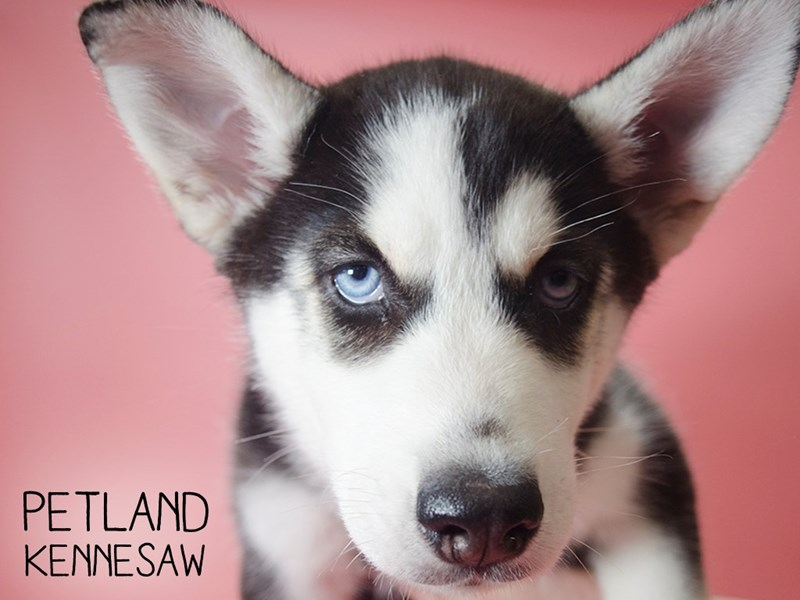 Siberian Husky-Female-Black & White-2693413-Petland Kennesaw