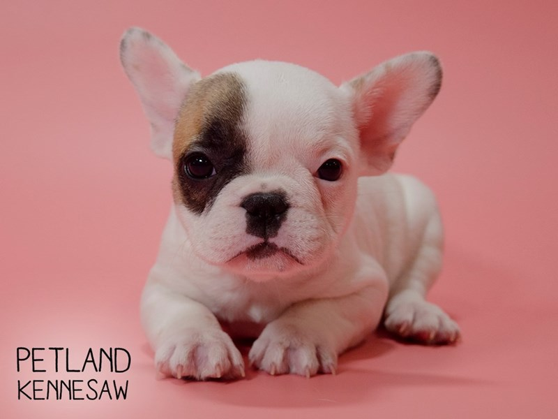 French Bulldog-Female-Fawn-2710517-Petland Kennesaw