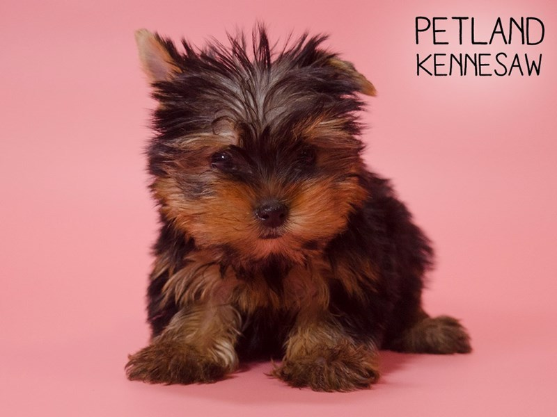 Yorkshire Terrier-Female-Black / Tan-2710514-Petland Kennesaw