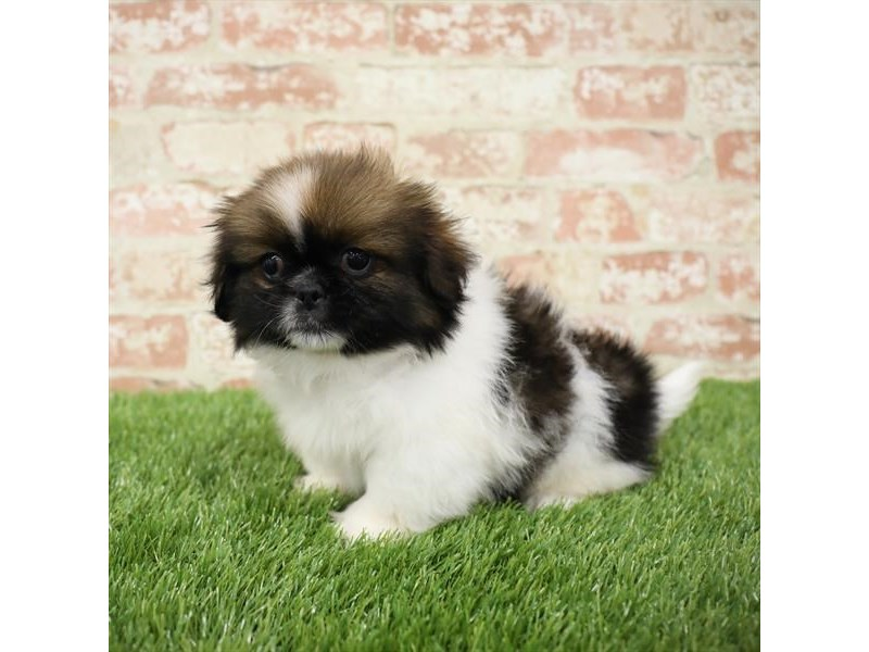 Pekingese-Male-Red Sable-2717889-Petland Kennesaw