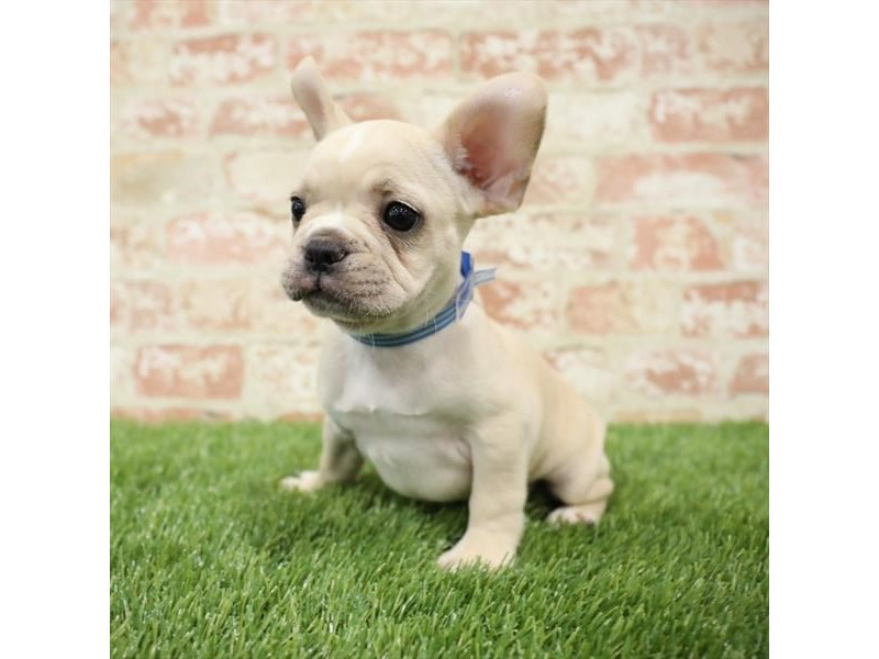 French Bulldog-Male-Cream-2717891-Petland Kennesaw