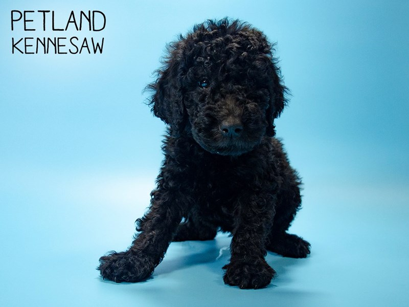 Goldendoodle 2nd Gen-Male-Black-2724149-Petland Kennesaw