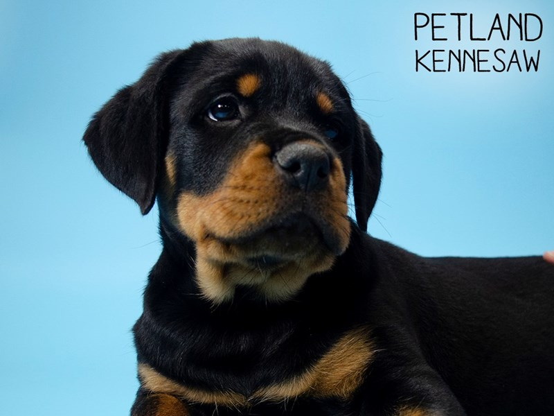 Rottweiler-DOG-Male-Black and Tan-2727032-Petland Kennesaw