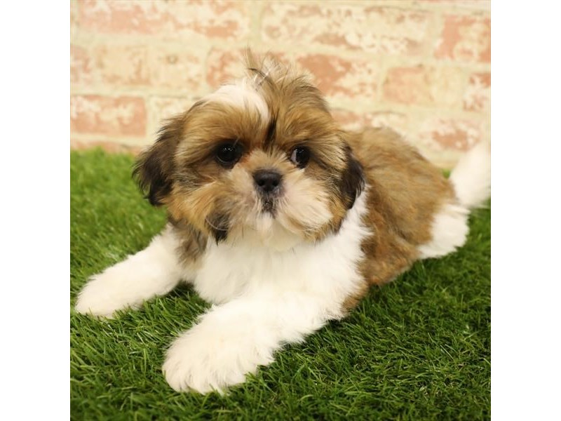 Shih Tzu-Female-Gold / White-2738318-Petland Kennesaw