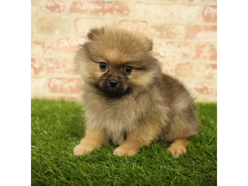 Pomeranian-Female-Orange Sable-2738335-Petland Kennesaw