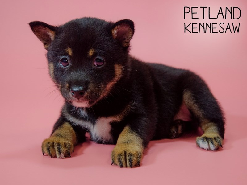 Shiba Inu-Female-blk tan and wh-2746295-Petland Kennesaw